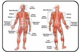 The Muscular System - Twynham School GCSE PE Revision