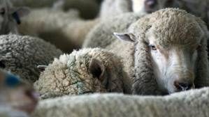 Sheep Farming in Australia