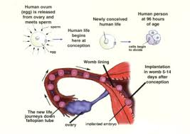 Stages of Conception
